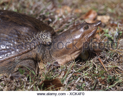 snapping turtle, American snapping turtle (Chelydra serpentina), portrait, USA - Stock Photo