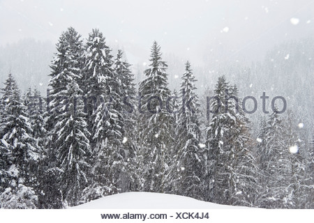 mounainforest in snowstorm, Alps, Austria - Stock Photo