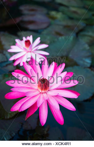 USA, Hawaii, Oahu, Pink Water Lilies at Kualoa Ranch; Waikiki - Stock Photo