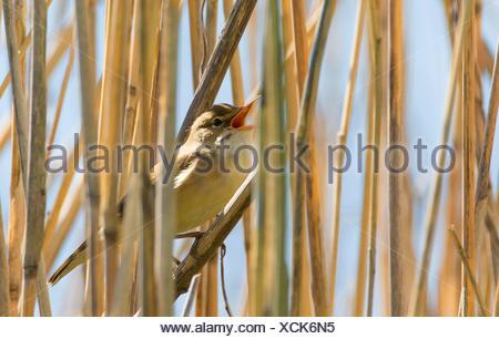 marsh warbler (Acrocephalus palustris), singing in Reed, Germany - Stock Photo