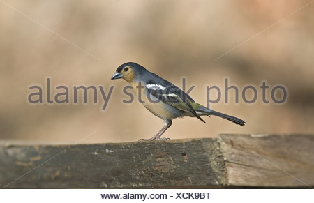 Tenerife Chaffinch (Fringilla coelebs tintillon) adult male, Tenerife, Canary Islands - Stock Photo