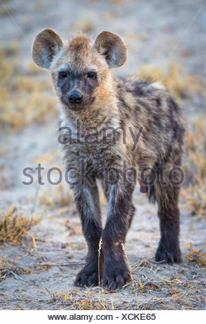Young spotted laughing hyena (Crocuta crocuta), Timbavati Game Reserve, South Africa - Stock Photo