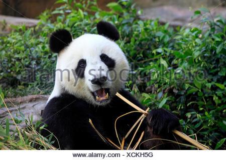 Giant Panda, Asia / (Ailuropoda melanoleuca) - Stock Photo