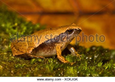 Black-spotted Sticky Frog (Kalophrynus pleurostigma), sitting on moss, Thailand, Phuket - Stock Photo