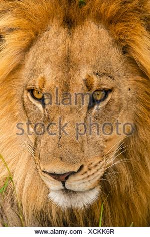 A male lion in the Linyanti Marshes, Kwando Concession, Botswana. - Stock Photo