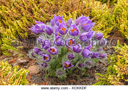 pasque flower (Pulsatilla vulgaris), in a garden with Erica carnea 'Isabell', Germany - Stock Photo