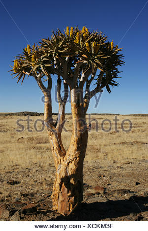 Lone quiver tree in desert, Namibia - Stock Photo