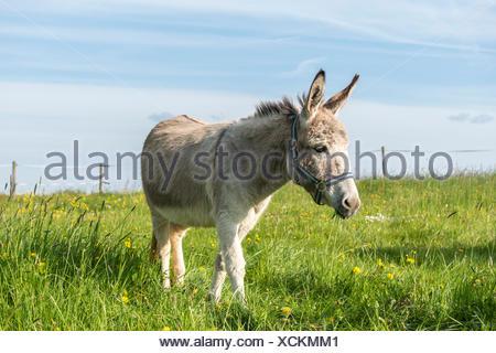 Weiten-Gesäß. Hessen, Germany, domestic donkey on pasture - Stock Photo