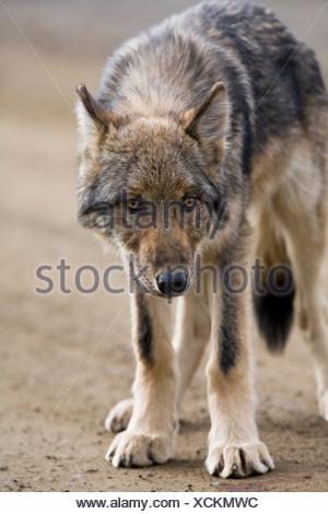 Wolf, Canis lupus, pup, autumn, on dirt road, closeup, Grant Creek pack, Denali National Park, Alaska, vertical, wild - Stock Photo