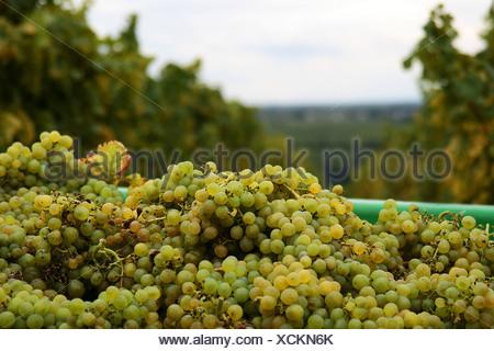 White grapes after the grape gathering, Southern Palatinate, Palatinate, Rhineland-Palatinate, Germany - Stock Photo