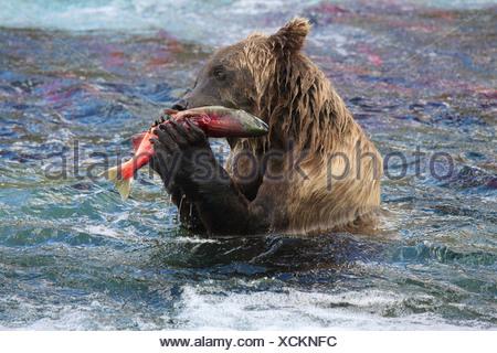Grizzly bear (Ursus arctos horribilis) feeding on Sockeye Salmon - Stock Photo