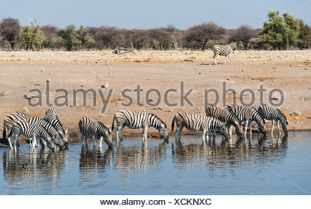 Herd of Burchell's Zebras (Equus burchellii) drinking, Chudop water hole, Etosha National Park, Namibia - Stock Photo