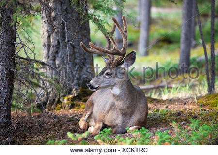 wildlife deer hunting - Stock Photo