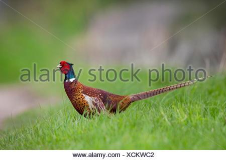 Fasan, Ringfasan, Jagdfasan (Phasianus colchicus), Fasanen-Hahn steht auf einer Wiese, Seitenansicht, Deutschland | common pheas - Stock Photo
