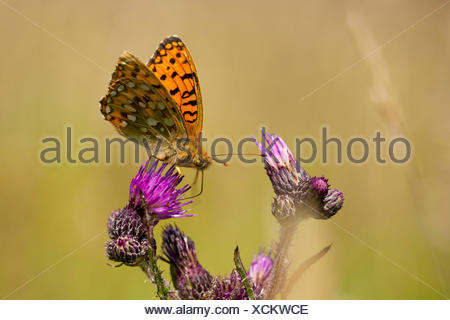 dark green fritillary (Argynnis aglaja, Mesoacidalia aglaja), sitting on a thistle and sucking nectar, Germany, Rhineland-Palatinate - Stock Photo