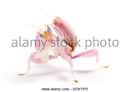 Malaysian orchid mantis (Hymenopus coronatus) photographed on a white background, originating from Malaysia. Captive. - Stock Photo