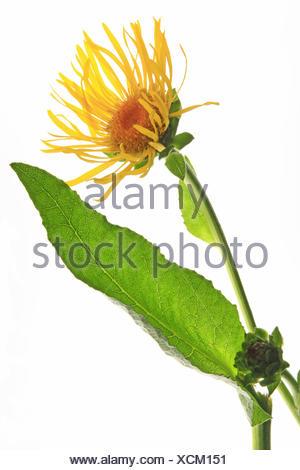 Elecampane (Inula helenium) - Stock Photo