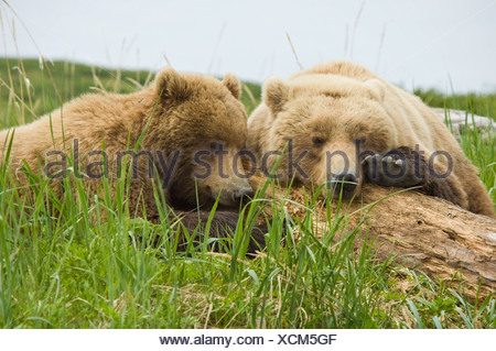 Brown Bear sow and her cub take a nap on some driftwood at McNeil River during Summer in Southwest Alaska. - Stock Photo