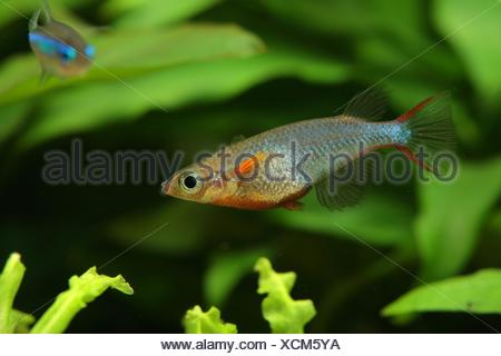 (Oryzias woworae), Male in coloration swimming in aquarium - Stock Photo