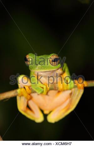 Wallace's Flying Frog (Rhacophorus nigropalmatus) from Borneo - Stock Photo