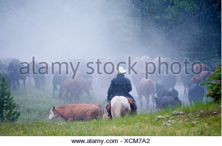 Cowboys on cattle round up Southern Alberta, Canada - Stock Photo