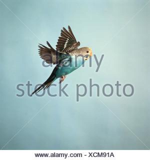 budgerigar - flying - Stock Photo