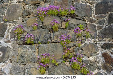 Pink flowering  stone plant on castle wall, Isle of Skye, Scotland, United Kingdom - Stock Photo