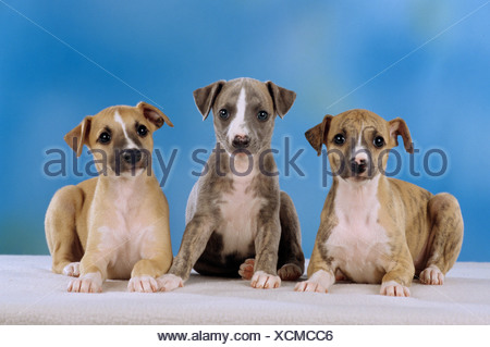 three Whippet dogs - puppies - cut out - Stock Photo