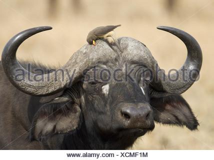 zoology / animals, mammal / mammalian, Bovidae, African Buffalo (Syncerus caffer), detail: head, bird (Yellow-billed Oxpecker) sitting on horns, Masai Mara, Kenya, distribution: Africa, Additional-Rights-Clearance-Info-Not-Available - Stock Photo