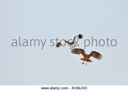 Couple of Marsh Harrier in flight - Texel Netherlands Passage of prey from male to female - Stock Photo