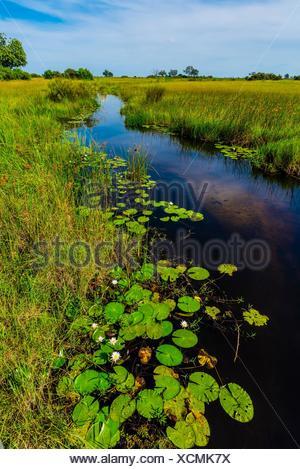 Water lilies, Lebala Camp, Kwando Concession, Linyanti Marshes, Botswana. - Stock Photo