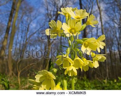Oxlip (Primula elatior), Thuringia - Stock Photo