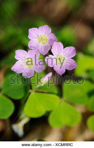 Flowering purple colored Wood-sorrel in spring forest - Stock Photo