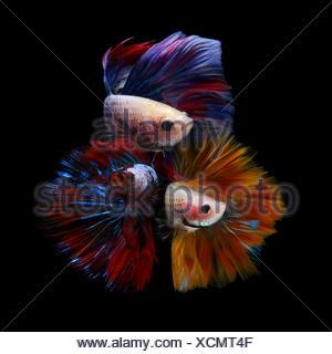 Three betta fish - Stock Photo