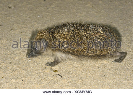 Hedgehog Erinaceus europaeus on the beach, Isles of Scilly Length 23-27cm Mainly nocturnal animal, protected by spines (modified - Stock Photo