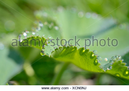 Drops of water on the leaf of a Lady's Mantle (Alchemilla) - Stock Photo