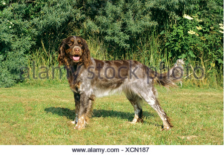 Picardy Spaniel - standing on meadow - Stock Photo