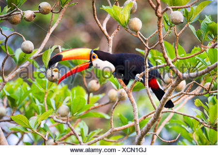 Toco Toucan (Ramphastos toco) feeding on fruit in forest canopy. Banks the Cuiaba River northern Pantanal Mato Grosso Brazil. - Stock Photo