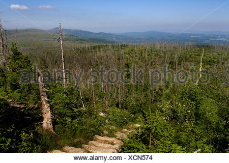 Norway spruce (Picea abies), forest dieback at Lusen in National Park Bavarian Forest, Germany, Bavaria, Bavarian Forest National Park - Stock Photo