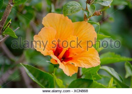 Hibiscus, orange in the botanical garden - Stock Photo