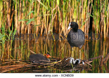 black coot (Fulica atra), standing on a floating island with a chick, Netherlands, Frisia - Stock Photo