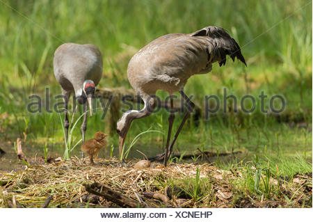 Common or Eurasian cranes (Grus grus), breeding pair at nest with chicks and egg, brooding place, Mecklenburg-Western Pomerania - Stock Photo