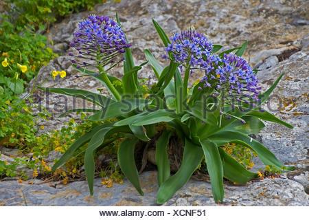 Peruvian Scilla (Scilla peruviana), blooming, Gibraltar - Stock Photo