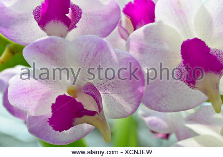 Dendrobium orchid hybrids is white and pink stripes in Thailand - Stock Photo
