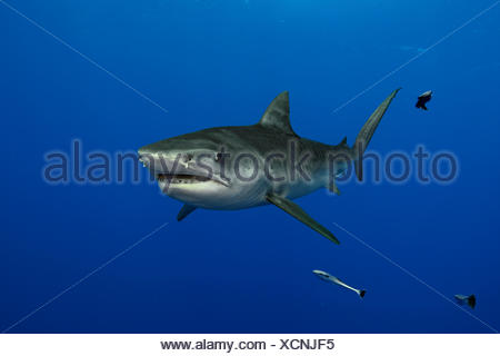 A tiger shark swims in waters off the coast of South Africa. - Stock Photo