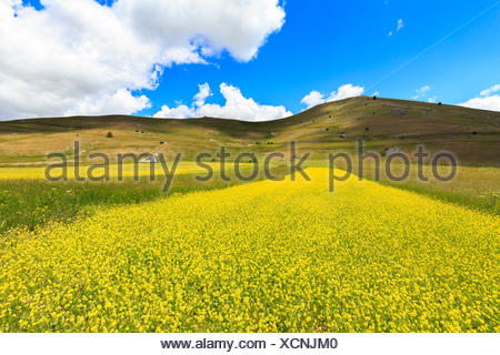 Fields of lentils and yellow flowers in spring castelluccio di stock blossoming of yellow flowers in lentil fields of santo stefano di sessanio abruzzo italy mightylinksfo Images