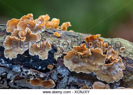 bleeding oak crust (Stereum gausapatum), on dead wood, Germany, Schleswig-Holstein - Stock Photo