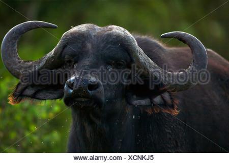African Buffalo or Cape Buffalo (Syncerus caffer) - Stock Photo
