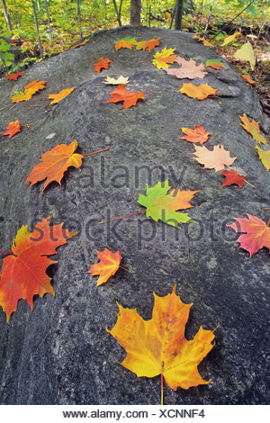 Sugar Maple leaves and rocks decorate the cottage country of the Muskokas, Ontario, Canada. - Stock Photo