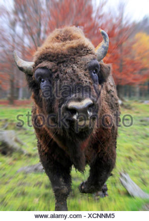 European bison, wisent (Bison bonasus), attacking the photographer, Germany - Stock Photo